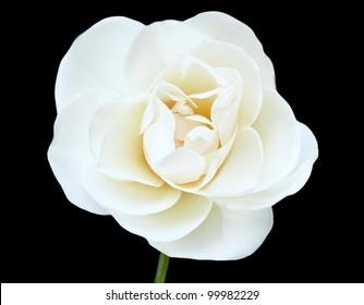 White Flower Isolated on Black Background, White Rose