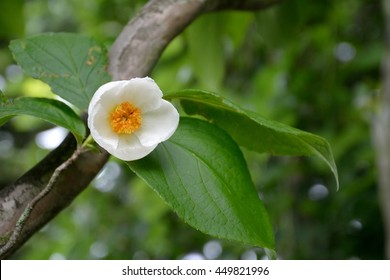 Japanese stewartia images stock photos vectors shutterstock white flower of japanese stuartia or stewartia pseudocamellia in summer mightylinksfo