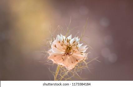 White flower - Macro of love-in-a-mist ( Nigella damascena )