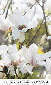 White flower of magnolia in spring