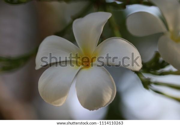 white flower in the morning name leelawadee