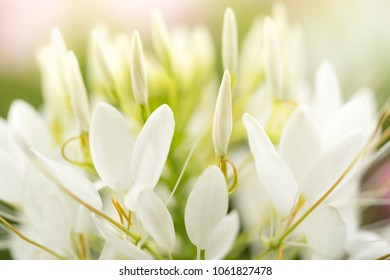 White flower nature with copy space using as natural background or wallpaper concept.