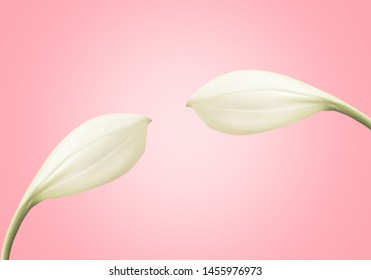 white flower  on pink pastel background   ,spring flower nature  background