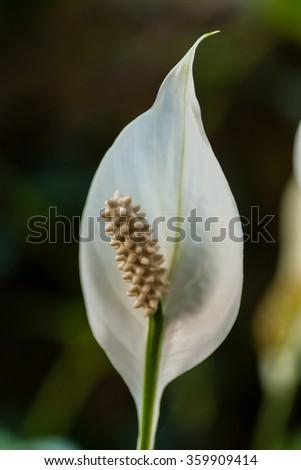 White flower one petal stock photo edit now 359909414 shutterstock white flower with one petal mightylinksfo