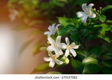White flower, Orange Jessamine, Satin-wood, Cosmetic Bark Tree