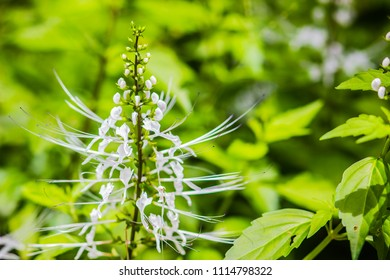 White flower of Orthosiphon aristatus with green leaves background.Orthosiphon aristatus is a medicinal herb known as cat's whiskers or Java tea.