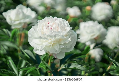 White flower peony flowering on background white peonies flowers. Nature.