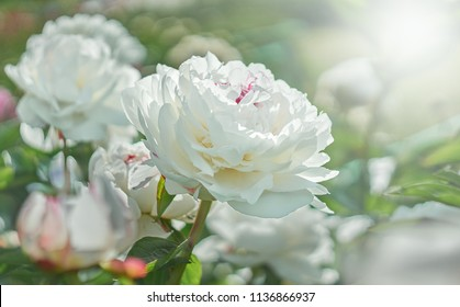 White flower peony flowering on background white peonies flowers. Nature.