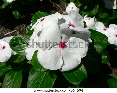 White Flower Pink Center Stock Photo (Edit Now) 554594 - Shutterstock