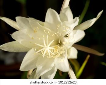 Night Blooming Cereus Images Stock Photos Vectors Shutterstock