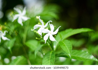 white flower, White Sampaguita Jasmine Orang Jessamine in garden, flower of Republic of the Philippines