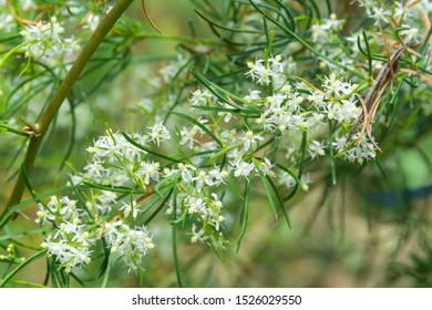 White flower of Shatavari (Asparagus racemosus Willd)