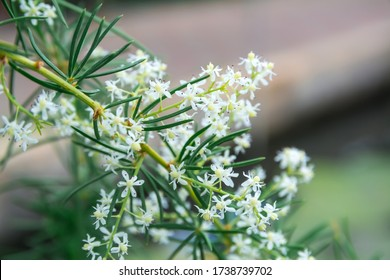 White flower of Shatavari (Asparagus racemosus Willd)