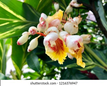 White flower of Shell Ginger, also called Pink porcelain lily, Variegated ginger, Butterfly ginger. Closeup of Alpinia zerumbet growing in Arusha, Tanzania, East Africa