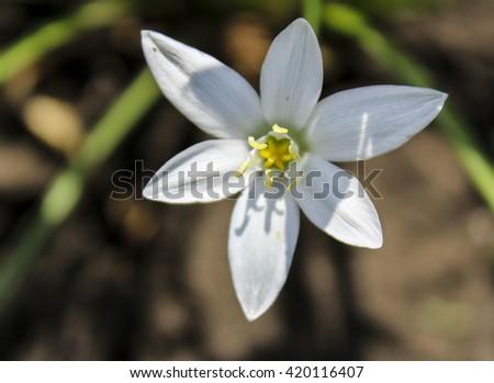 White Flower Six Petals Yellow Center Stock Photo Edit Now