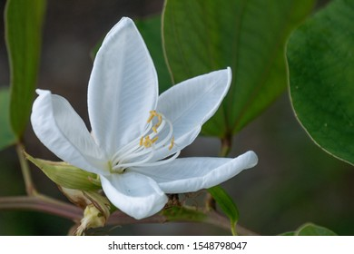 White flower of Snowy Orchid tree (Bauhinia acuminata) with green leaf.