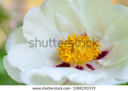 White Flower Tree Peony Yellow Stamens Stock Photo Edit Now