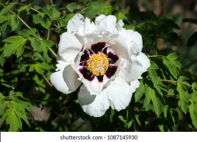 White flower of a tree-like peony (Paeonia suffruticosa)