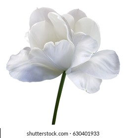 White flower tulip on white isolated background with clipping path. Close-up.  no shadows. Shot of White Colored. Nature.