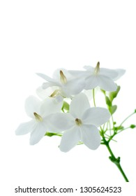 White flower of Water Jasmine flower (Wrightia religiosa Benth) on white background.