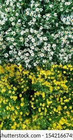 White Flower  Yellow flower  Background  photostock twins