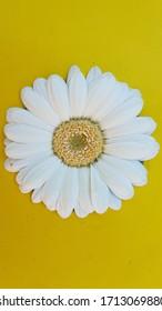 white flower yellow hart yellow background