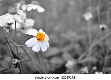 White flower with yellow pollen on black and white background,selective focus.