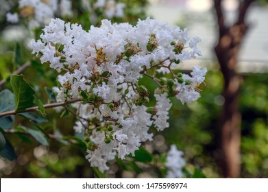 White flowered Lagerstroemia, commonly known as Crape Myrtle