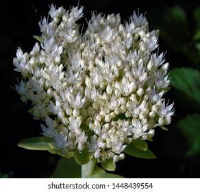 white flowered sedum spectabile  called Iceberg