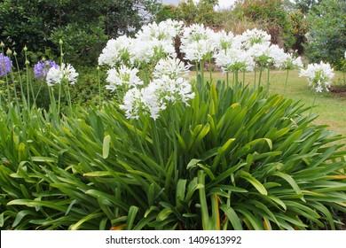 White flowering Agapanthus plants in garden, Mount Tamborine, Queensland Australia