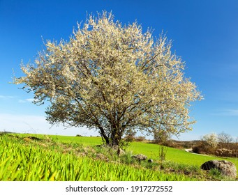 white flowering blackthorn bush or tree and green field, springtime view from bohemian and moravian highland