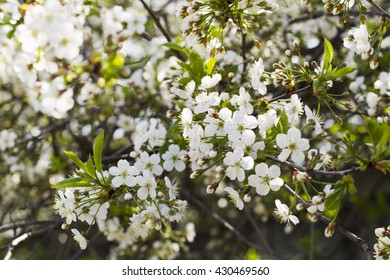 White flowering cherry spring day on a background of blue sky, sunshine, Macro