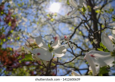white flowering dogwood tree with blue sky and sun
