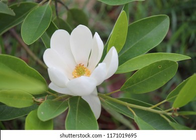 A white flowering magnolia flower.