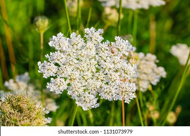 White flowering plant, Caraway or meridian fennel or Persian cumin or Carum carvi, close up