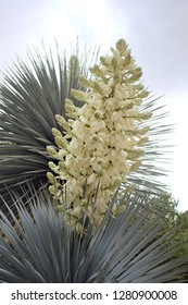 White flowering Yucca plant on gray sky with white fluffy clouds
