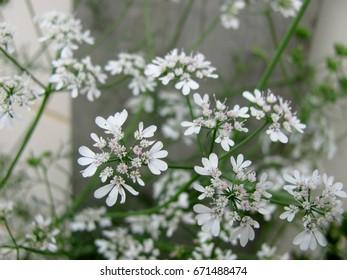 white flowers - Shutterstock ID 671488474
