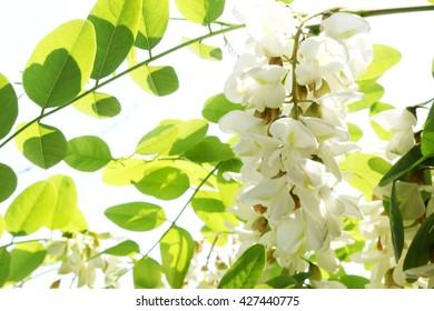 white flowers of acacia - Robinia pseudoacacia
