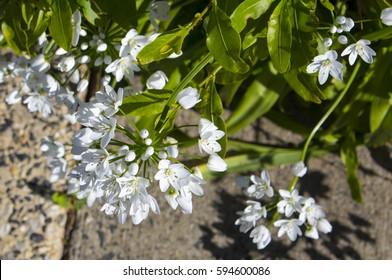 White flowers of Allium neapolitanum (Naples Garlic, Daffodil Garlic, False Garlic, Flowering Onion, Naples Onion ) a perennial bulb of the Allium  onion genus blooming in late winter.