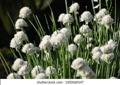 White flowers of Allium schoenoprasum Alba