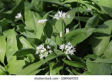 White flowers of Allium ursinum (ramsons)