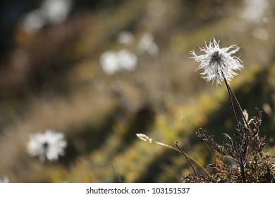white flowers in the alpine pasture of high altitude