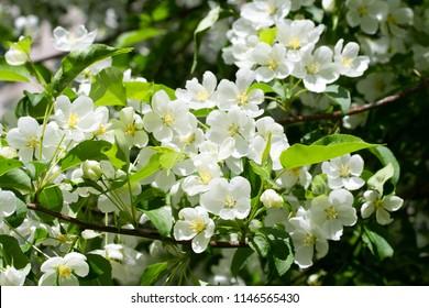 white flowers apple close-up nature landscape