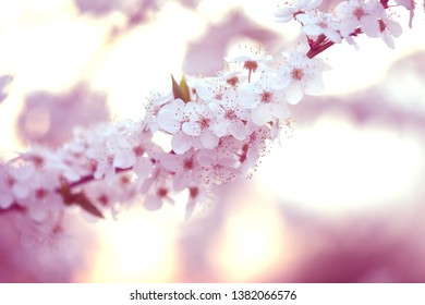 white flowers of apple tree spring background
