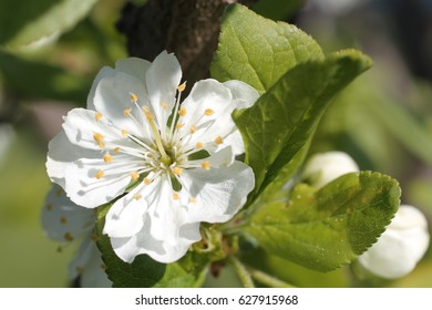 white flowers of apple tree spring and spring blue sky