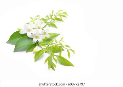 White flowers are arranged to look beautiful,Murraya paniculata.