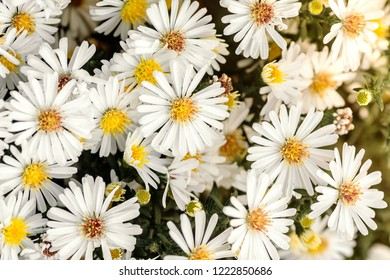 white flowers Astra perennial bush belongs to the family Asterae or Asteraceae