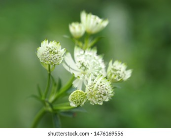 White flowers of astrantia major, masterwort, Apiaceae. Herbaceous perennial, garden