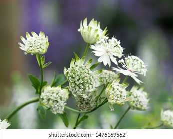 White flowers of astrantia major, masterwort, Apiaceae. Summer  garden