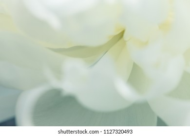 The white flowers background. Macro of white petals texture. Soft dreamy image